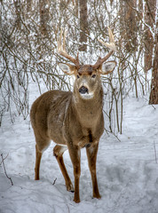 The big guy !!! (riclane) Tags: winter snow canada ottawa deer buck whitetaildeer oldquarrytrail