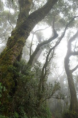 Nothofagus moorei (igomak) Tags: fog rainforest oreillys greenmountains lamingtonnationalpark nothofagus nothofagaceae sequeensland antarcticbeech arfp nothofagusmoorei australianrainforestplants toolonacreek qrfp cooltemperatearf gondwanarelict