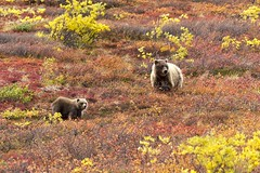 Bears Love the Fall Colors Too (TNWA Photography (Debbie Tubridy)) Tags: autumn wild usa fall nature colors animals alaska outdoors freedom togetherness nikon natural feeding fallcolors wildlife autumncolors journey learning northamerica environment hungry grizzly wilderness denali exploration habitat discovery grazing onthemove bonding mobility denalinationalpark trolling seasonschange eatingberries coth5 tnwaphotography sowcubs sowcub grizzlybearslearning