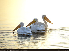 Three American White Pelicans at Sunrise (vtnida) Tags: california lake nature birds sunrise los angeles aves wilderness preserve woodley americanwhitepelican pelecanus erythrorhynchos