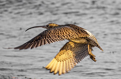 curlew 2 (mistyblue17) Tags: uk winter west birds coast scotland wildlife january estuary birdwatching gourock nationalgeographic curlew wader firthofclyde numeniusarquata canon100400l 2013 canon7d