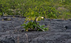 Regrowth (Tim Conway) Tags: park winter usa plant rock fruit america island kalapana volcano hawaii lava islands town big december pacific native united rope fresh national hawaiian vegetation hi shield swirl states bigisland volcanoes geology roadclosed volcanic plain destroyed noni recent swirly kilauea basalt runny geological regrowth igneous volcanoesnationalpark lavaflows evacuated basaltic ropey morindacitrifolia 2013 morinda citrifolia easternriftzone kupalanahalavashield kupalanaha paehoehoe