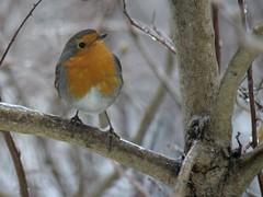 rouge-gorge (steph-55) Tags: bird nature birds hiver neige lorraine oiseaux glace rougegorge verdun nikon300mmf4 nikond800 steph55