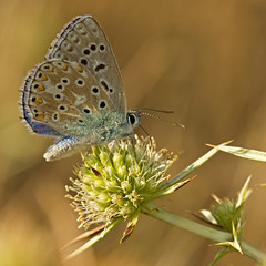 Adonis Blue (Polyommatus bellargus) (Sinkha63) Tags: france macro male nature animal butterfly wildlife lepidoptera papillon martel lycaenidae midipyrnes polyommatus polyommatinae lycaeninae azur polyommatusbellargus adonisblue eryngiumcampestre azurbleucleste panicautchamptre fielderyngo