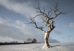 Twisted (.Brian Kerr Photography.) Tags: winter light snow cold tree landscape cumbria ☆thepowerofnow☆