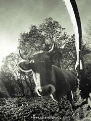 mmm... mu? (Isidr Cea) Tags: cow fisheye vaca ojodepez peleng8mmf35 terneragallega wwwisidroceacom