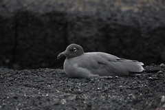 Lava gull (mat425) Tags: santacruz bird island lava gull galapagos sancristobal genovesa larusfuliginosus