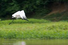 _DSC4082 (Mario C Bucci) Tags: rio brasil do paulo so lontra gara tuiuiu piracicaba moura banhado rato prpura tanquan