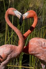 Flamingo Heart (San Diego Zoo Global) Tags: cute animals zoo heart sandiego flamingo valentine