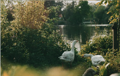 Geese (The6millionpman) Tags: park summer lake bird film nature animal wales analog canon outdoors cardiff sunny foliage 35mmfilm analogue canonae1 waterfowl agfa filmphotography filmisnotdead analoguephotography