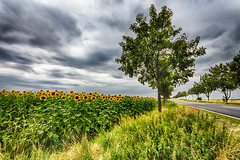 the sunflower field near by the street (diwan) Tags: street flower nature colors field yellow clouds canon germany geotagged deutschland eos google outdoor natur feld wolken blumen gelb sunflowers hdr plugins lightroom 2016 sonnenblumen brde saxonyanhalt sachsenanhalt highdynamicrangeimage canoneos650d sigma1020mmf4056exdc slzetal viveza2 langenweddingen hdrefexpro2 nikcollection threesingleshots geo:lon=11496820 geo:lat=52021011