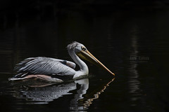 Pelican (z_a_r_a) Tags: nature black background pelican reflection d750