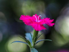 Mystic Pink (Shannonsong) Tags: mystic tiny pink dianthus flower bokeh miniature macro small garden bloom blossom