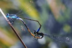 White-legged damselfly (pavel conka) Tags: idlko brvonoh whitelegged damselfly dragonfly insect macro makro conka czech pen flickr estrellas