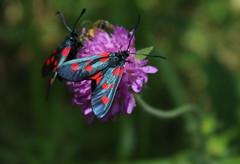 zygnes (bulbocode909) Tags: insectes zygnes fleurs nature montagnes vert bleu rouge