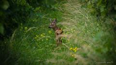 """giovane capriolo """"in explore"""" (santi_riccardo) Tags: capriolo natura naturalmente bosco"""