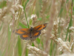 x P2490582c 'Keeper of the Grass ..!!.. ' Gatekeeper in the long grass of our wild 'meadow' . .. . . (Yet ANOTHER WINDY! day..Pouffhs.!!.!.) (Erniebobble::) Tags: erniebobble 2016 nature newforest wildlifegarden wildlife balance butterfly lepidotera wings ephemeral edge environment climate delicate feeding colours chrispackham bct fleeting meadow restful reflection tranquil metamorphosis transient transitory painting pattern passage art floating flower garden gentle peaceful portrait resting suspended surface summer hues biodiversity ecosystem weather study stilllife secretworld unseen unsprung glimpse soft subdued muted season springwatch textural symbiosis pollination nectar antennae illuminating imagination inspiring education learning flight alight above harmonious happy smile