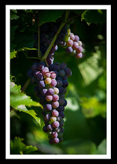 On the grapevine III (derek_michalski) Tags: grapevine grapes colour nikon d800