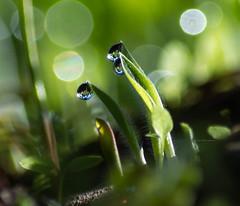 My world in a dew drop... (knoxnc) Tags: grass morning nikon nature reflection dew shadows sunlight newgrass worldinadewdrop d7200 dewdrops summer outside