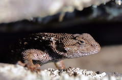 Profile (TJ Gehling) Tags: reptile lizard fencelizard westernfencelizard sceloporus sceloporusoccidentalis moeserhillside pge elcerrito