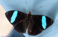 K46A8014 (Yvonne23021984) Tags: schmetterling butterfly hamm germany deutschland maxipark markro photography macrophotography canon canonphotography markofotografy canoneos7dmarkii insects insekten nature naturfotografie naturephotography closeup colorkey schmetterlinge butterflies