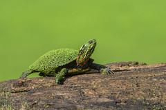 Turtle Green (PhillymanPete) Tags: log paintedturtle algae nature turtle palmyracovenaturepark green reptile summer duckweed animal palmyra newjersey unitedstates us nikon d7200