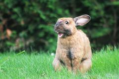 Lapin domestique (Mariie76) Tags: animaux lagomorphe lapin rabbit grandes oreilles marron museau noir curieux verdure nature herbe fatigue dents fatigué bâillement baillerie baille dodo