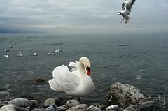 Genfersee (welenna) Tags: switzerland schwitzerland see genfersee genevelake lake lakegeneva laclman swiss swan schwan abend evening vevey winter