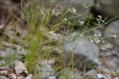 Asperula-aristata_23 (amadej2008) Tags: taxonomy:binomial=asperulaaristata asperulalongiflora asperulacynanchicassparistata southernsquinancywort grannenmeier grannenmeister grannenwaldmeister dolgocvetnaperla asperulaaristata asperula asperulacynanchica squinancywort meier meister waldmeister perla perle aristata