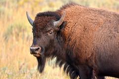 Getting the Bison Eye (NaturalLight) Tags: bison eye grandteton nationalpark wyoming