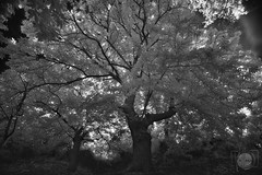"""Foto"" sntesis (Antonio.Vallano) Tags: infrarrojo ir arbol naturaleza larga trpode filtro contraluz bosque"