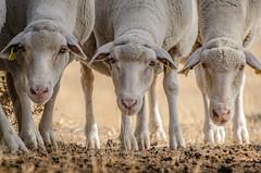 Torrecampo, Crdoba (nfaraldos) Tags: torrecampo crdoba spain espaa spagna ovejas sheeps three tro nikon