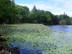 Waterlilies (leedslily) Tags: mull island isle scotland tobermory arospark green tree plant leaf waterlily loch water lochan