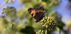 """""""Aglais urticae"""" - kleine vos (bugman11) Tags: kleinevos bug bugs fauna butterfly butterflies insect insects animal animals canon 100mm28lmacro aglaisurticae macro nature nederland thenetherlands bokeh 1001nights 1001nightsmagiccity"""