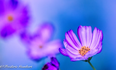 sideral view of Summer (frederic.gombert) Tags: cosmos light sun summer sunlight color colors flower flowers colorful plant macro macrodreams nikon d810 greatphotographers