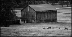 Deer Feeding (CallihanImages) Tags: ef70300mmf456isusm ef70300mm ef canon canoneos70d canon70d 70d 275mm deer whitetail field black bw blackandwhite blackwhite white