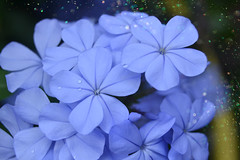 can you feel it? (C-Smooth) Tags: plumbago flowers summer blue waterdrop flora garden floral fiori nature macro