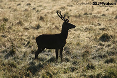 Portait of a Red Deer Stag