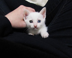 IMG_0855 (Melody - Taverna da Lua) Tags: cat kitten neko whitecat heterocromia blueeye greeneye gato branco gatobranco