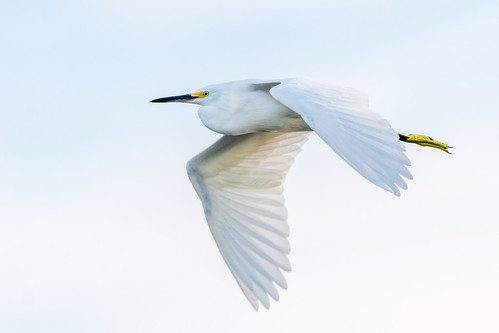 Snowy Egret - Orlando Wetlands Park