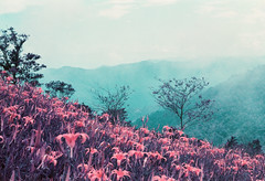 Dusk Lily (Hayden_Williams) Tags: purple violet indigo lavender flowers lily daylilies daylily dream surreal field meadow mountain landscape sky clouds mist air film analog fd50mmf18 canonae1 lomography lomo lomochromepurplexr100400 asia taiwan taitung