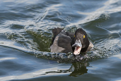 DSC_5660xl (happisnapper) Tags: tufted duck