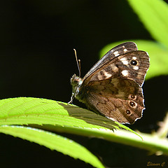 Speckled Wood (Pararge aegeria) (Eleanor (No multiple invites please)) Tags: butterfly insect speckledwood canonspark stanmore uk nikond7100 august2016