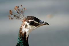 pavo cristatus (mkk707) Tags: nikond200 afmicronikkor105mm128d bokeh peacock closeup zoo darmstadt vivarium