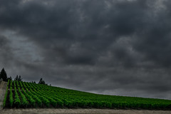 Tresori Vineyard (D-Adams) Tags: tresori vineyard clouds dark grapes wine sky cloudy stormy ominous d5300 nikon oregon newberg landscape outdoor field gray grey