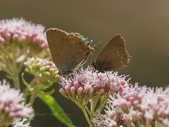 False ilex hairstreak - Satyrium esculi - France (ArtFrames) Tags: aude france papeur butterfly olympus digital camera em5mk2 40150 false ilex hairstreak satyrium esculi languedocroussilin