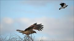 Pee Wee chasing off intruding Whistling Kite (4 photos) (cleardrops) Tags: whistlingkitehaliastursphenurus pee wee alicesprings