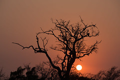Vulture in South African Sunrise (Michelle Tuttle) Tags: vulture sillouette sunrise sun africa southafrica animal bird nature landscape silhouette