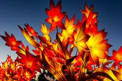 Maple leaf (begineerphotos) Tags: illuminasia lantern lanternsfestival lanternfestival calgary calgaryzoo zoo maple mapleleaf mapleleaves mapletree maplelantern