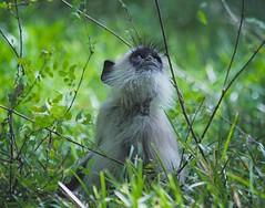 Purple-faced Langur Monkey (PY 1875) Tags: langur safari srilanka monkey